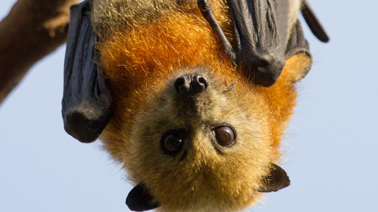 Close up of a young grey headed flying fox hanging in a tree and looking at camera