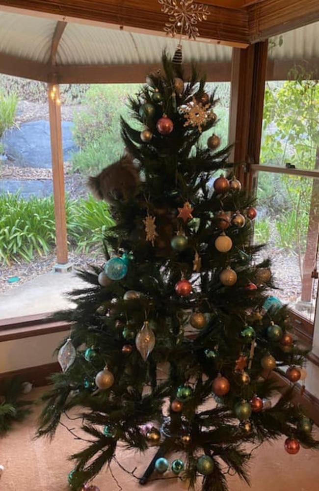 Tis the season. The koala nestled itself into the Christmas tree. Picture: 1300Koalaz