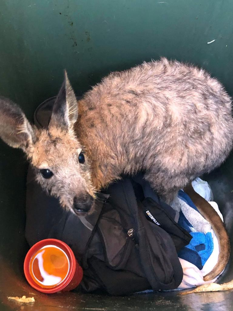 Bronte, the kangaroo, was saved by Brighton Surf Life Saving members