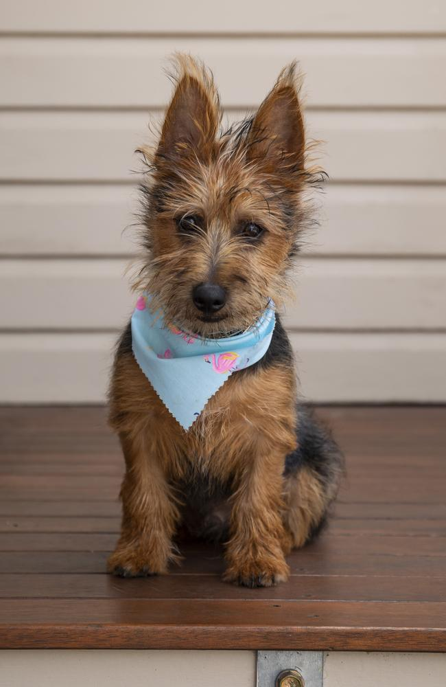 Australian Terrier dog Stringer has made a full recovery after consuming Voltaren tablets. His owner Brock Taylor sought advice from the Animals Poisons Hotline. Picture: Mark Cranitch.