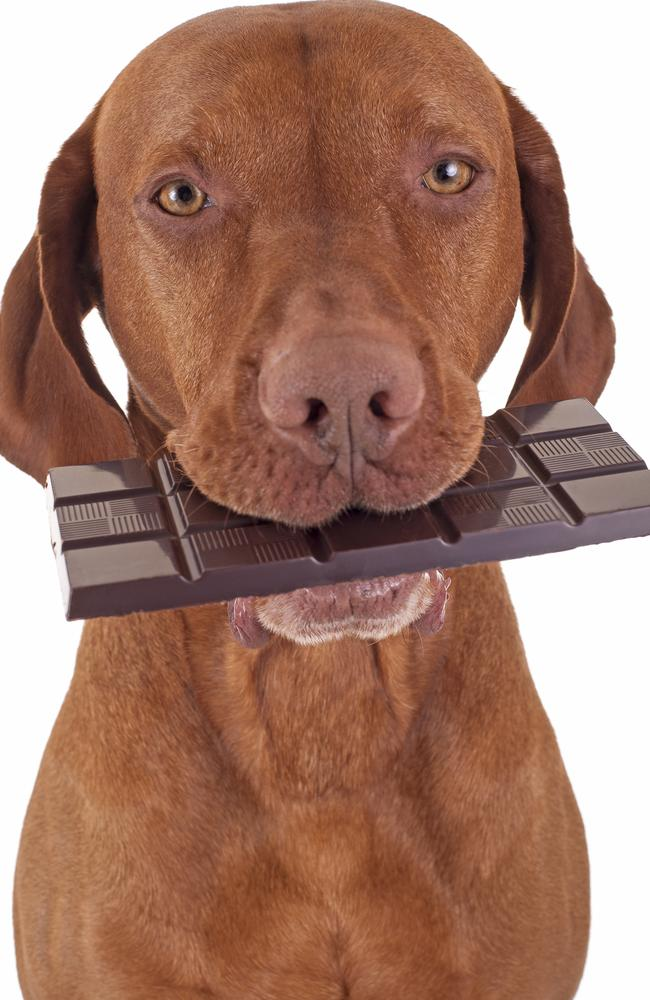 Chocolate is poisonous to dogs and cats.