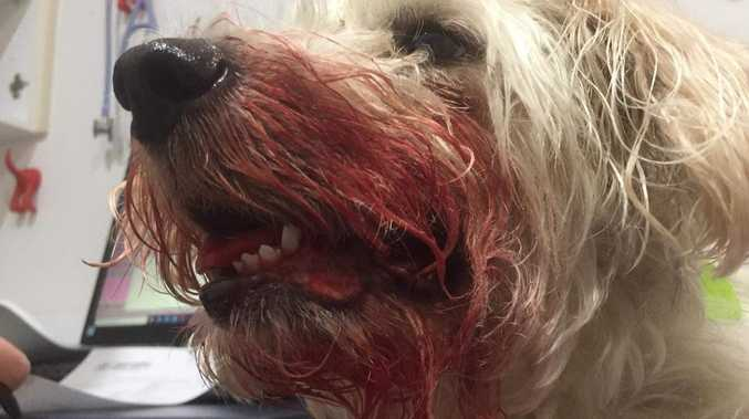 Hellish dog attack leaves Billie a bloodied mess