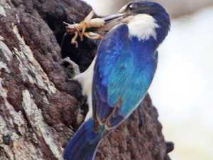 The incredible nesting habits of the forest kingfisher