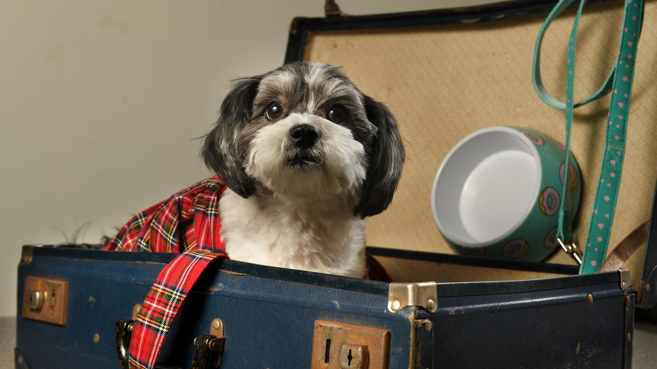 Little Bonnie is off to Scotland. Picture: Tricia Watkinson.