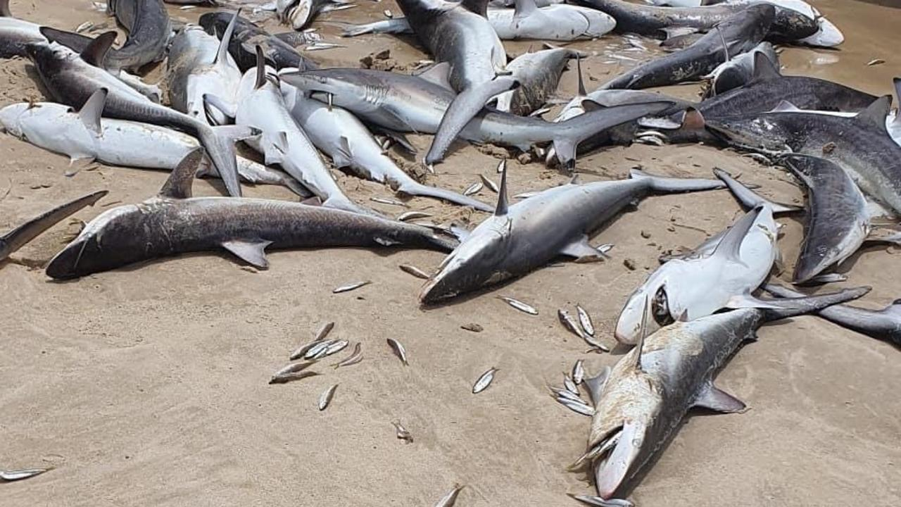 Photo of a mass of sharks reportedly found dead on the beach at South Stradbroke Island. Picture: Instagram/Blair Parker.