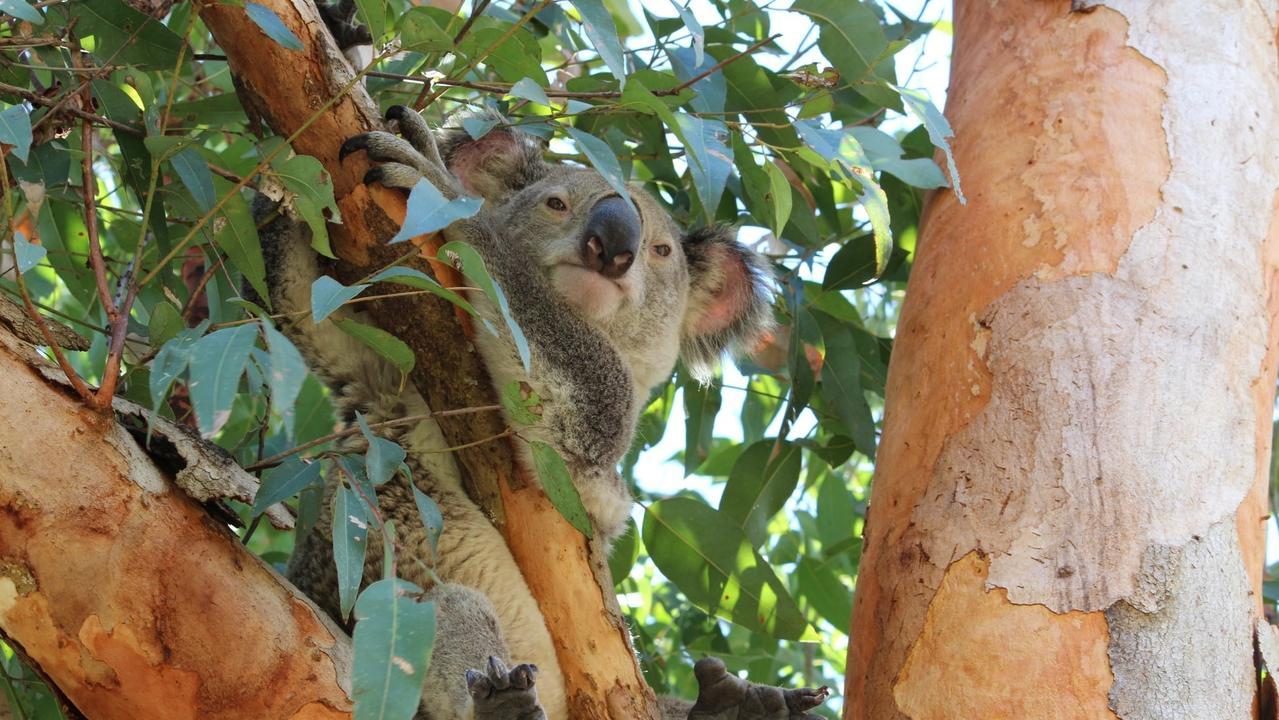 Photo of a koala taken on Gympie's Southside early in 2020.
