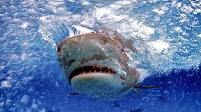 Grisly find inside man-eater: Mackay's shark attack horror