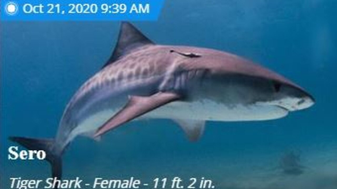 Sero is a female tiger shark tagged in the Whitsunday but has been seen in waters on the other side of Australia and well into the Pacific Ocean. Picture: Ocearch