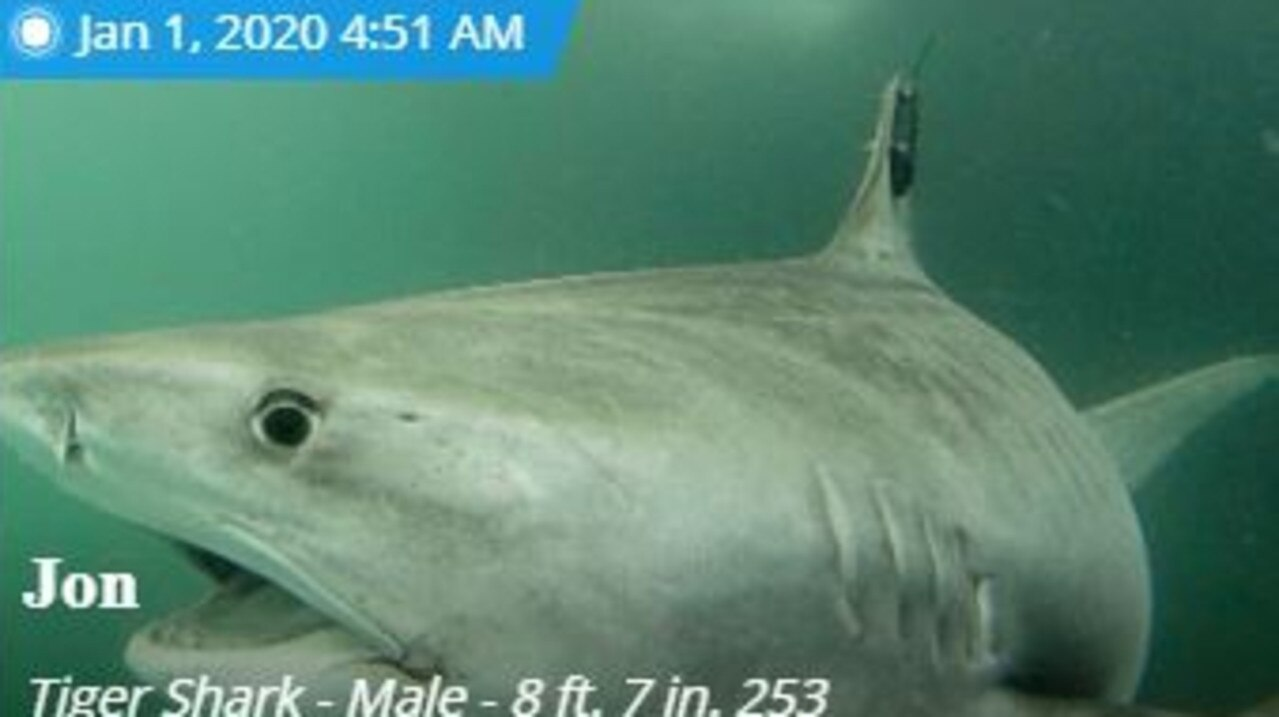 Tiger shark Jon likes to stay around the Whitsunday islands. Picture: Ocearch