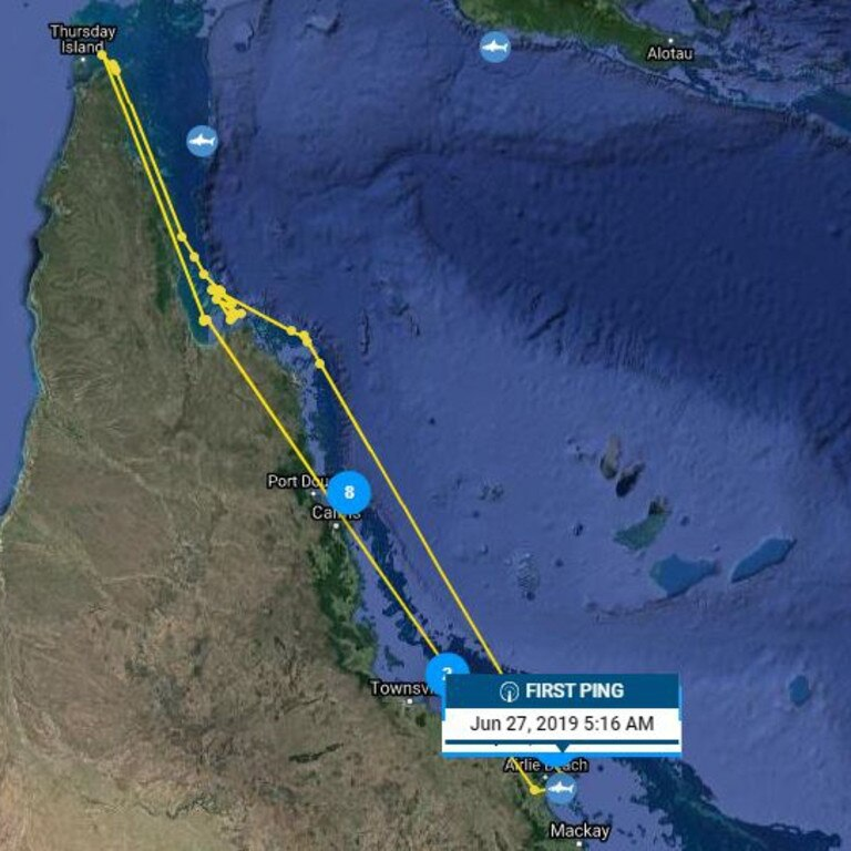Bull shark Bevan travels between the Mackay region and Cairns. Picture: Ocearch