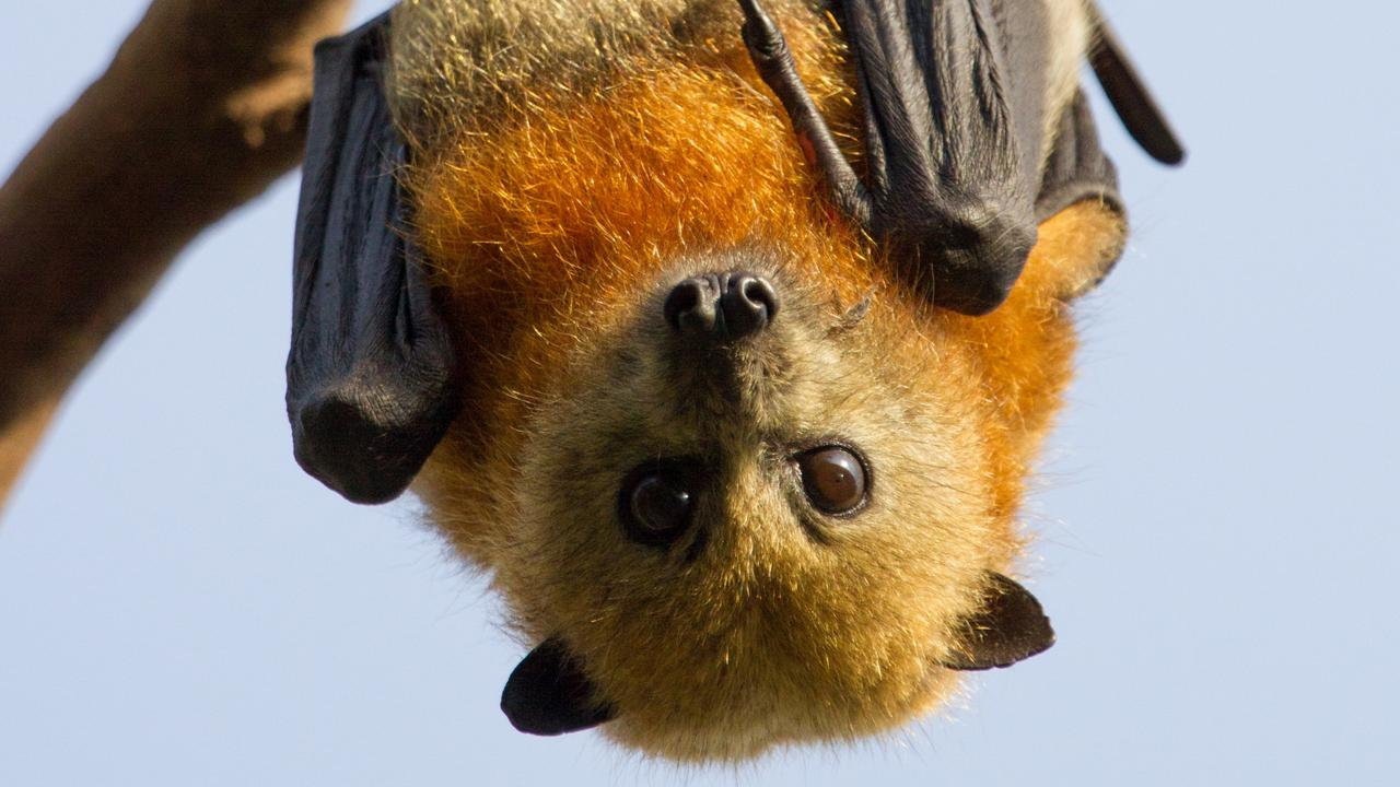 A flying fox which later tested positive for Australian Bat Lyssavirus was found in Queens Park.