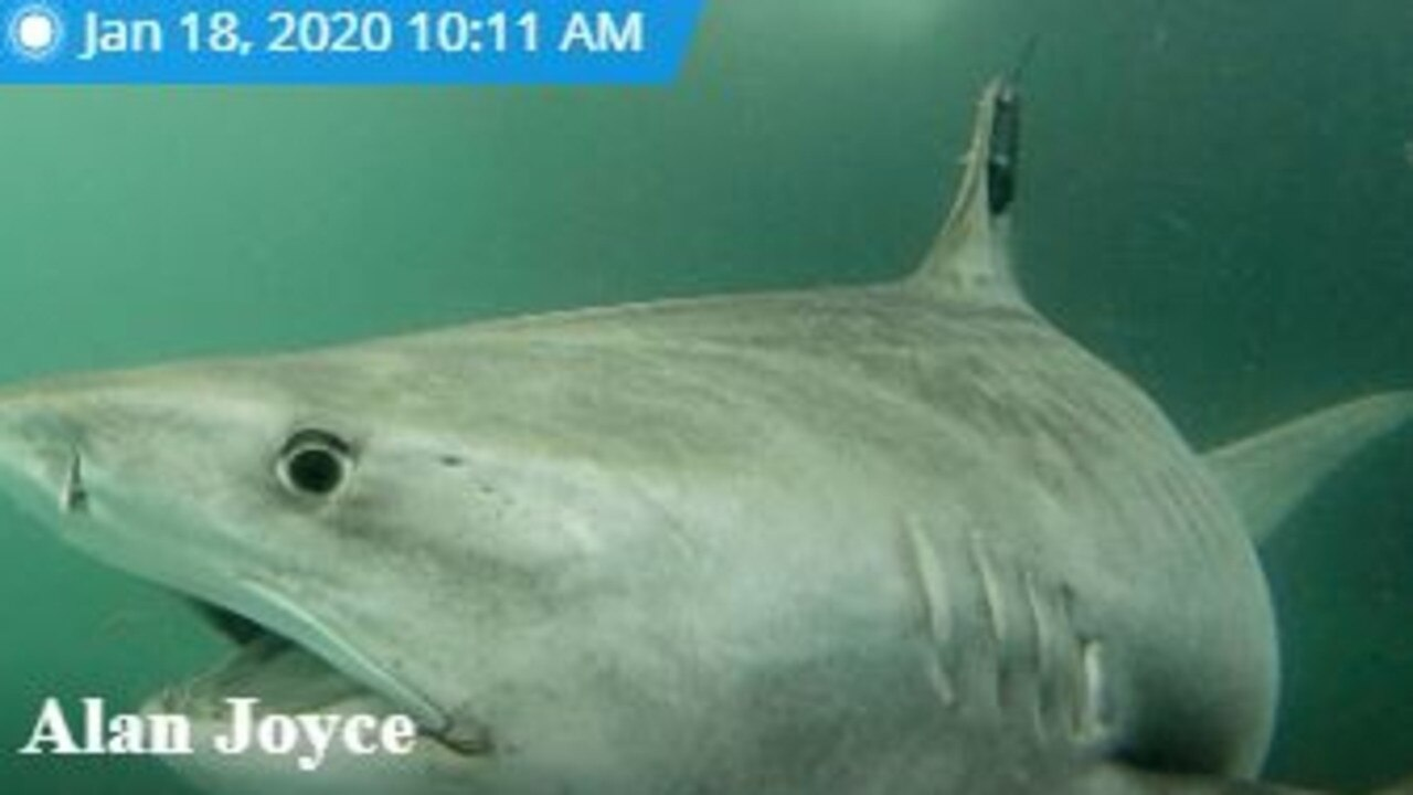 Alan Joyce is a tiger shark tagged near the Whitsunday islands. Picture: Ocearch