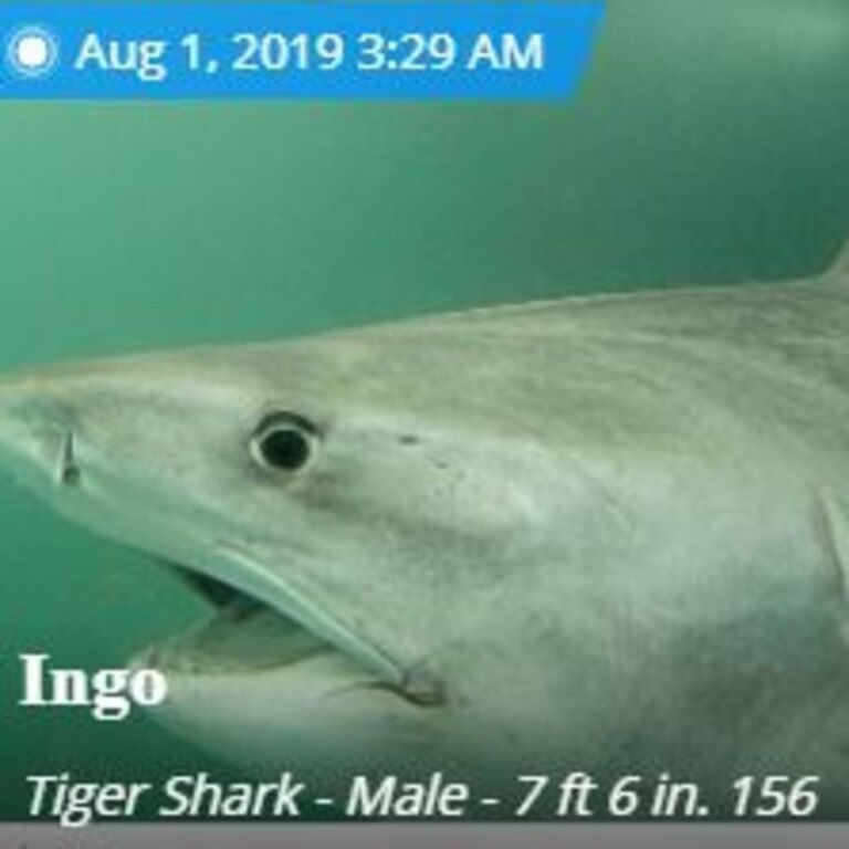 Ingo the tiger shark likes to stay in and around the Whitsunday island. Picture: Ocearch