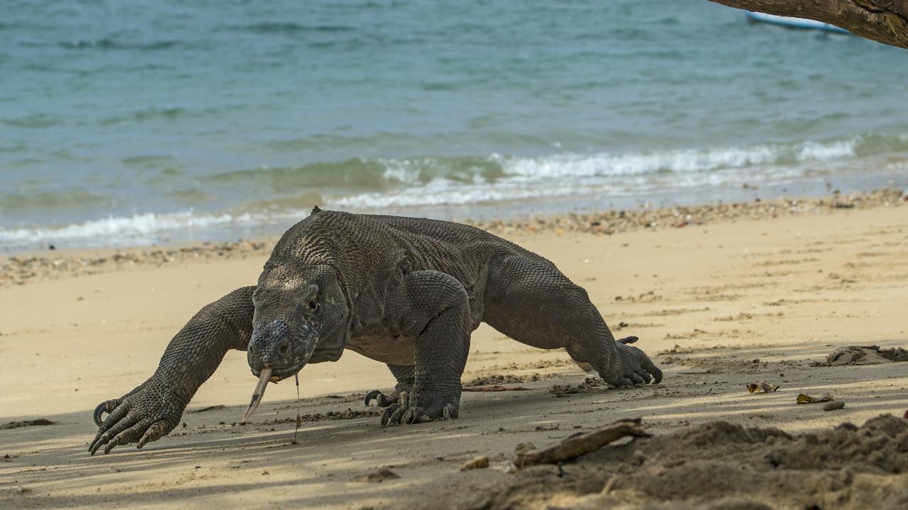 A worker at a 'Jurassic Park' resort in Indonesia has reportedly been savaged by a Komodo Dragon living on the remote island.