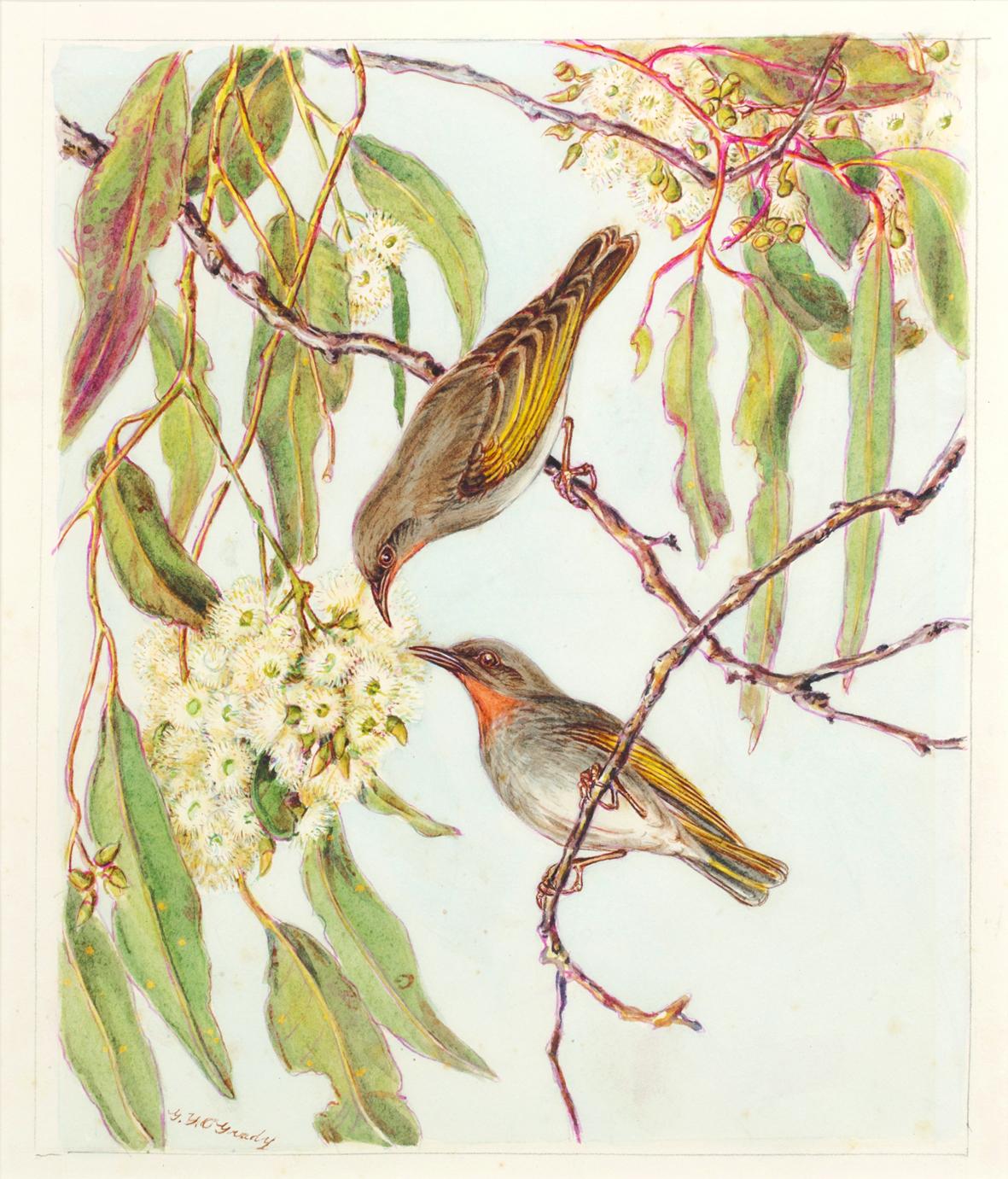 Gladys O'GRADY (1894 – 1985), Rufous Fantail, Watercolour on paper, 27 x 40cm, Gift of Doris O'Grady 1988, O'Grady Collection