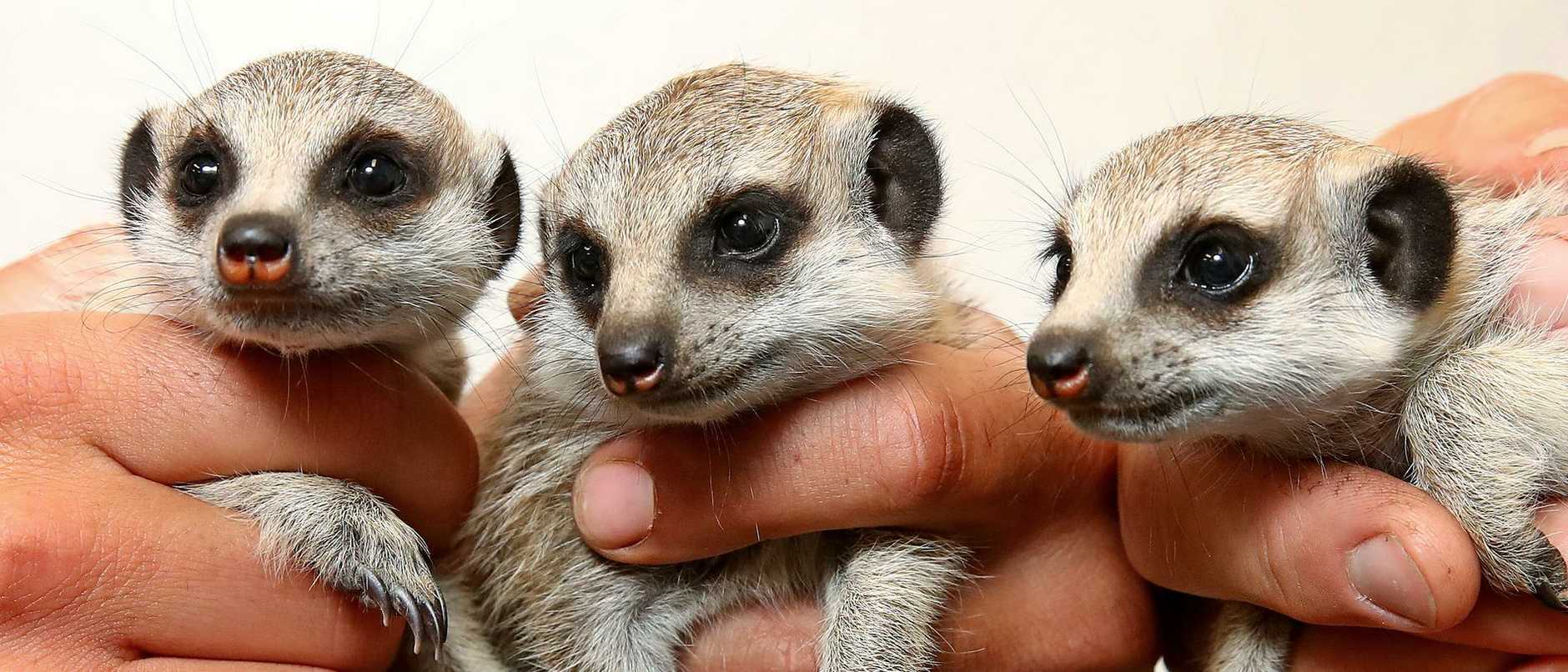They are small, cute and come in threes. Say hello to Sydney Zoo's newest residents.