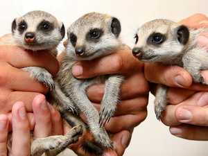 It's a meerkat triple treat