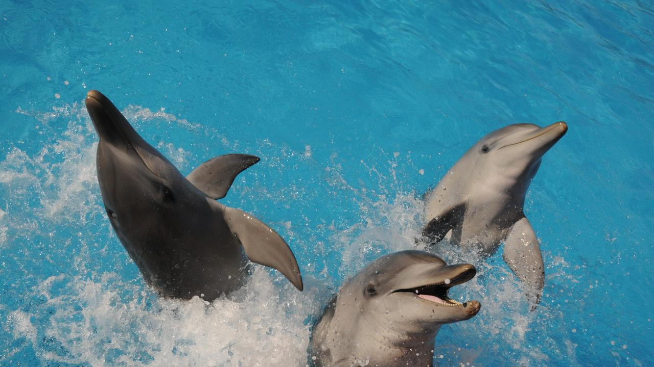 Dolphins Bella, Cal and Jet perform at the Dolphin Marine Conservation Park.