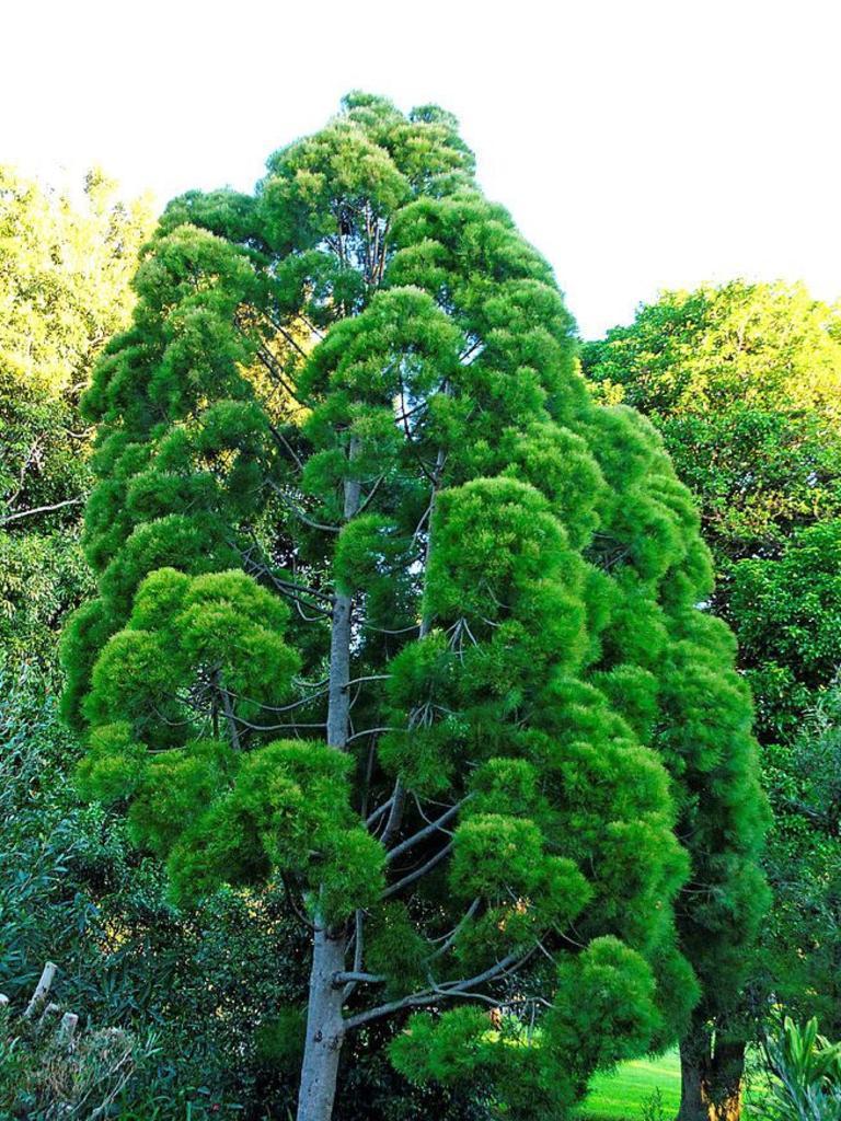 Gymnostoma australianum