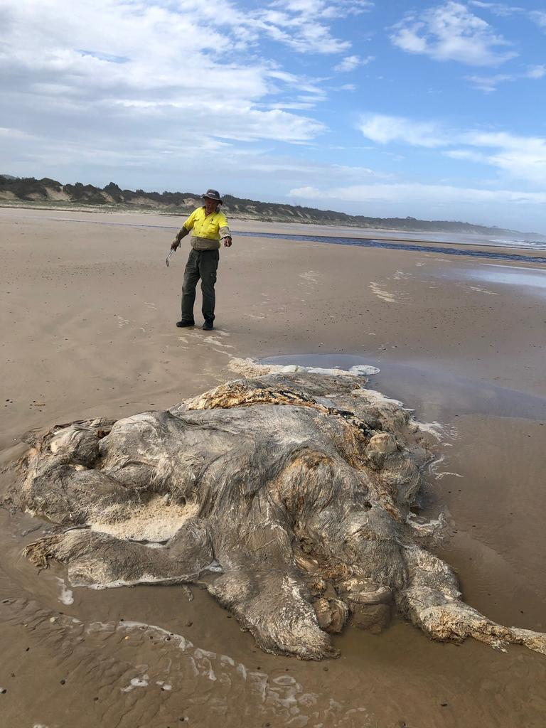 A deceased whale is removed from Red Cliff beach. Photo: Geoff Stubbings