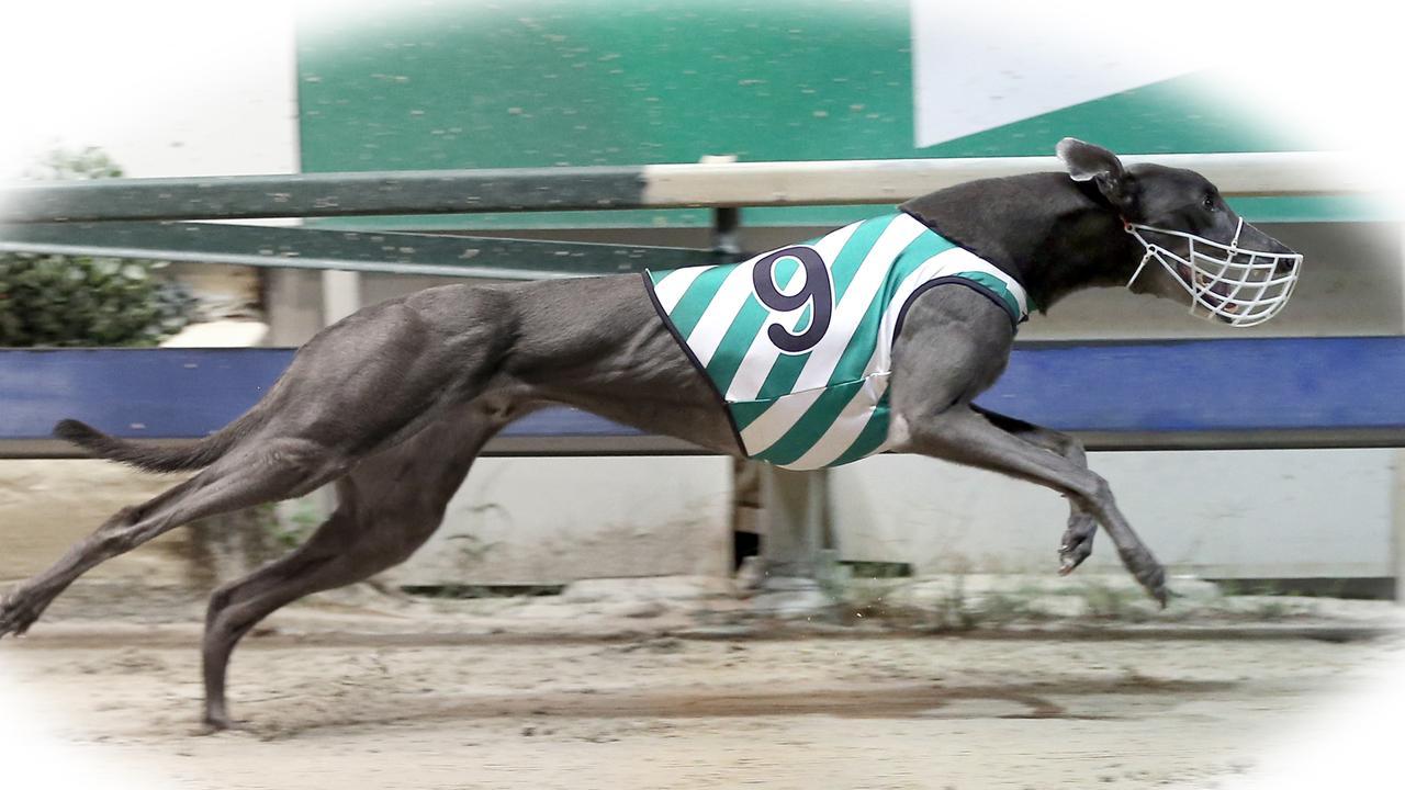 Greyhound Crimson War winning at Ipswich. Picture: justgreyhoundphotos.com