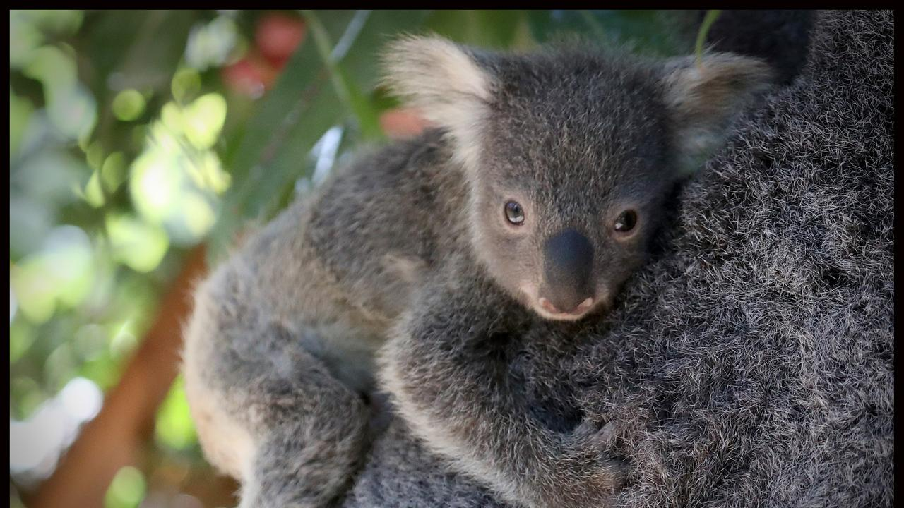 It's always been known for its koalas, but now the Brisbane wildlife sanctuary is set for a major foodie transformation