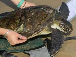 Trio of turtles rescued from death return home