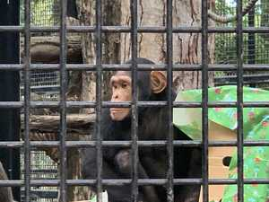 CUTE VIDEO: Meery Chimpmas from Rockhampton Zoo
