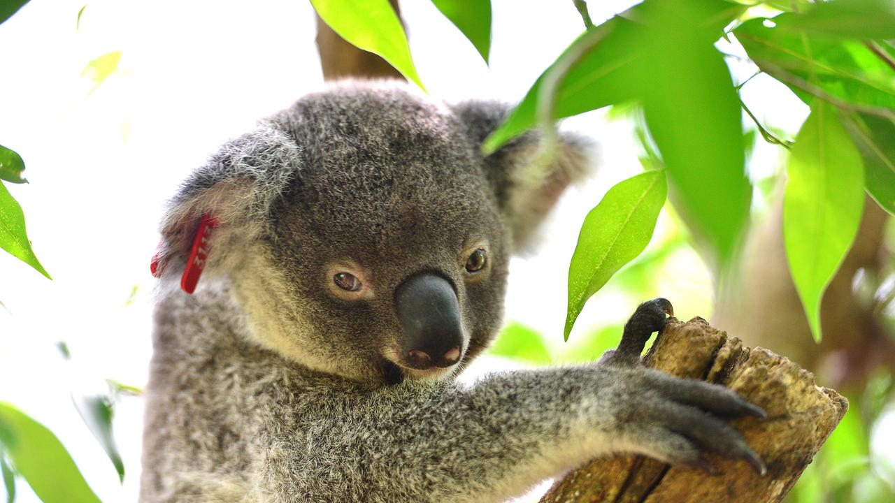 The council is seeking input from all corners of the community including koala protection groups.
