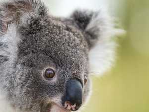 $11.8 million for koala safe zones