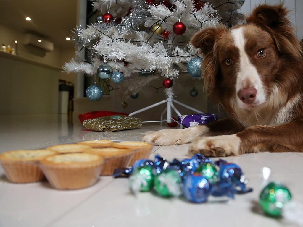 Whitfield border collie Cappucci restrains from eating Christmas treats that are bad for dogs. PICTURE: STEWART MCLEAN