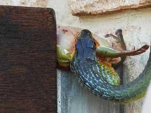 Yikes! Snake's festive frog feast in Coast yard