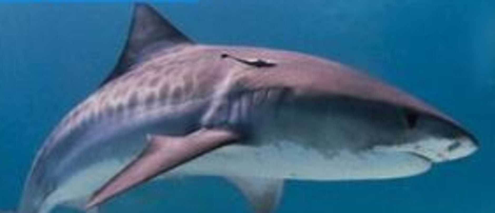 Queensland fishermen are reporting an increase in shark numbers swimming in local waters.