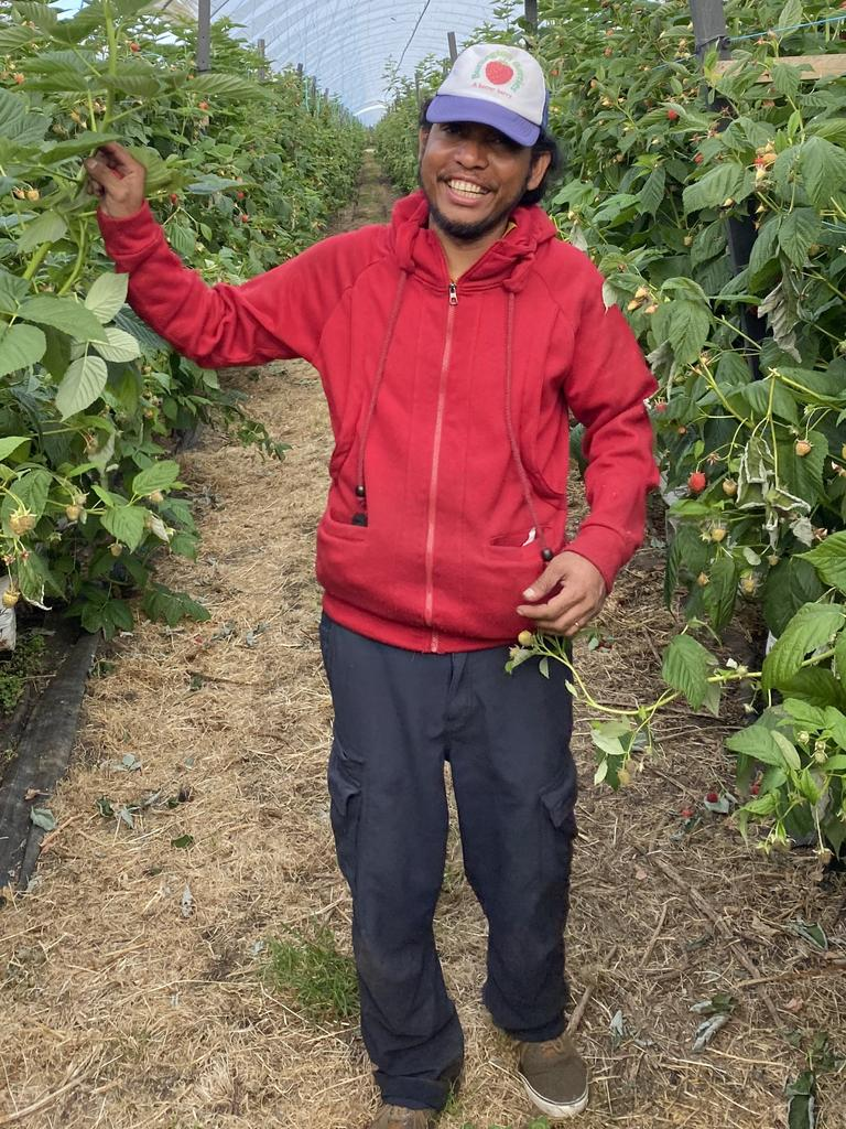 Burlington Berries harvest season team leader Antero Dos Santos will work his third season on the berry farm at Cressy in Tasmania. Picture: Supplied