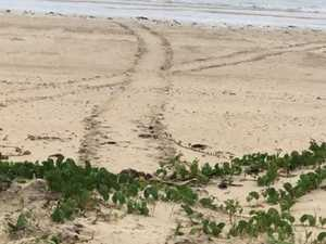 Residents claim proof of turtles nesting on Keswick Island