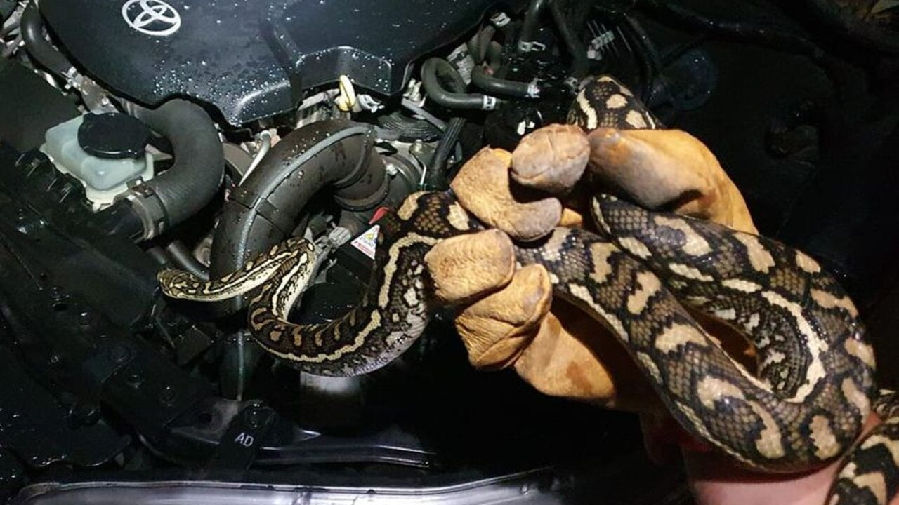 This guy was found crawling up inside an engine bay in Park Ridge last December. Pic: Snake Catchers Ipswich & Logan