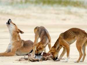 Island camping grounds closed due to dingo activity