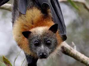 Flying fox death outbreak prompts North Coast warning