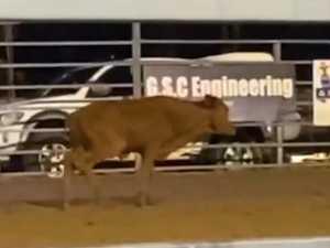 Clip of hurt calf at Goomeri rodeo sparks calls for ban
