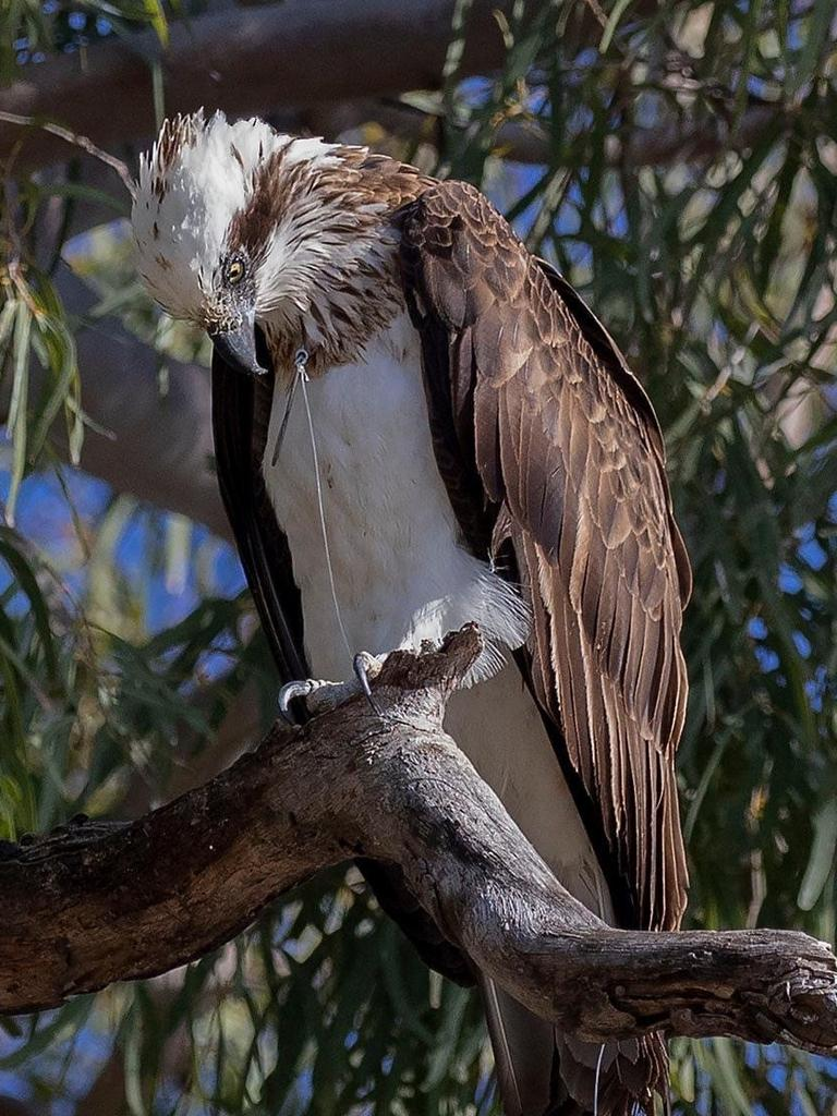 The osprey with the hook embedded in its neck.