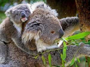 'Koalafied' rescue team hopeful of species resurgence
