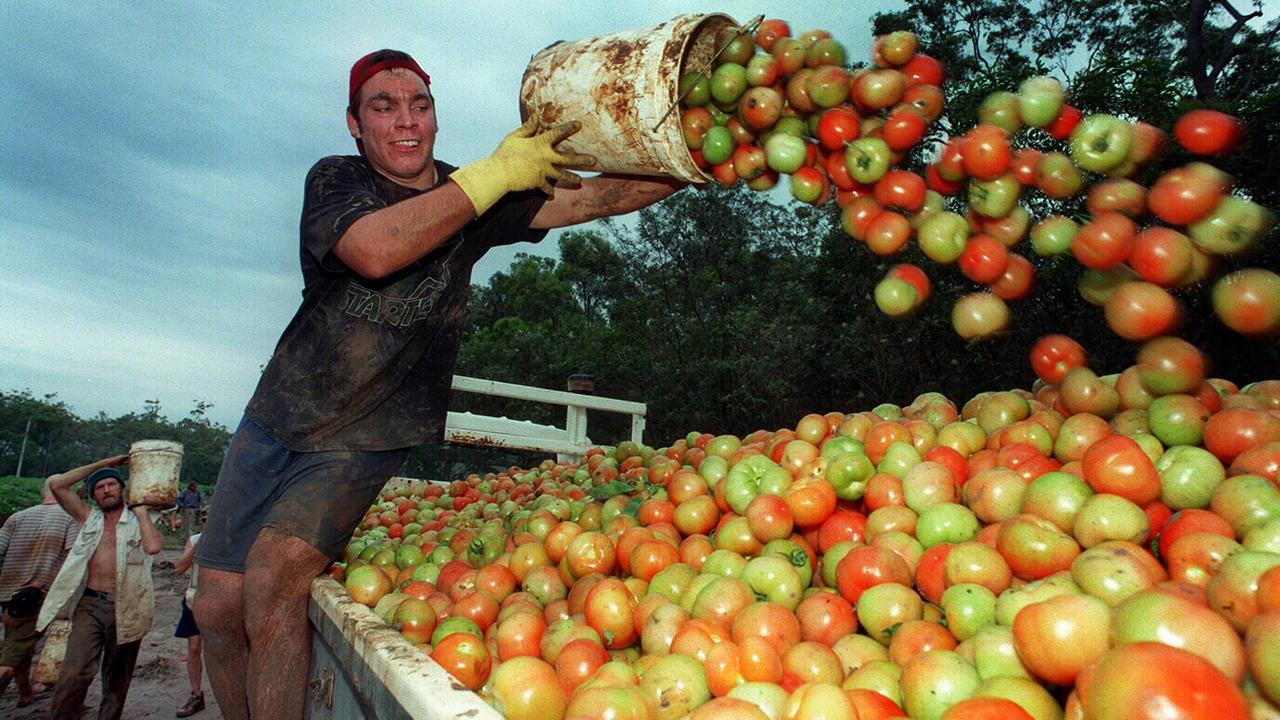 US tourist Ryan Gordon throwing tomatoes onto back of truckwhile vegetable picking at Childers.