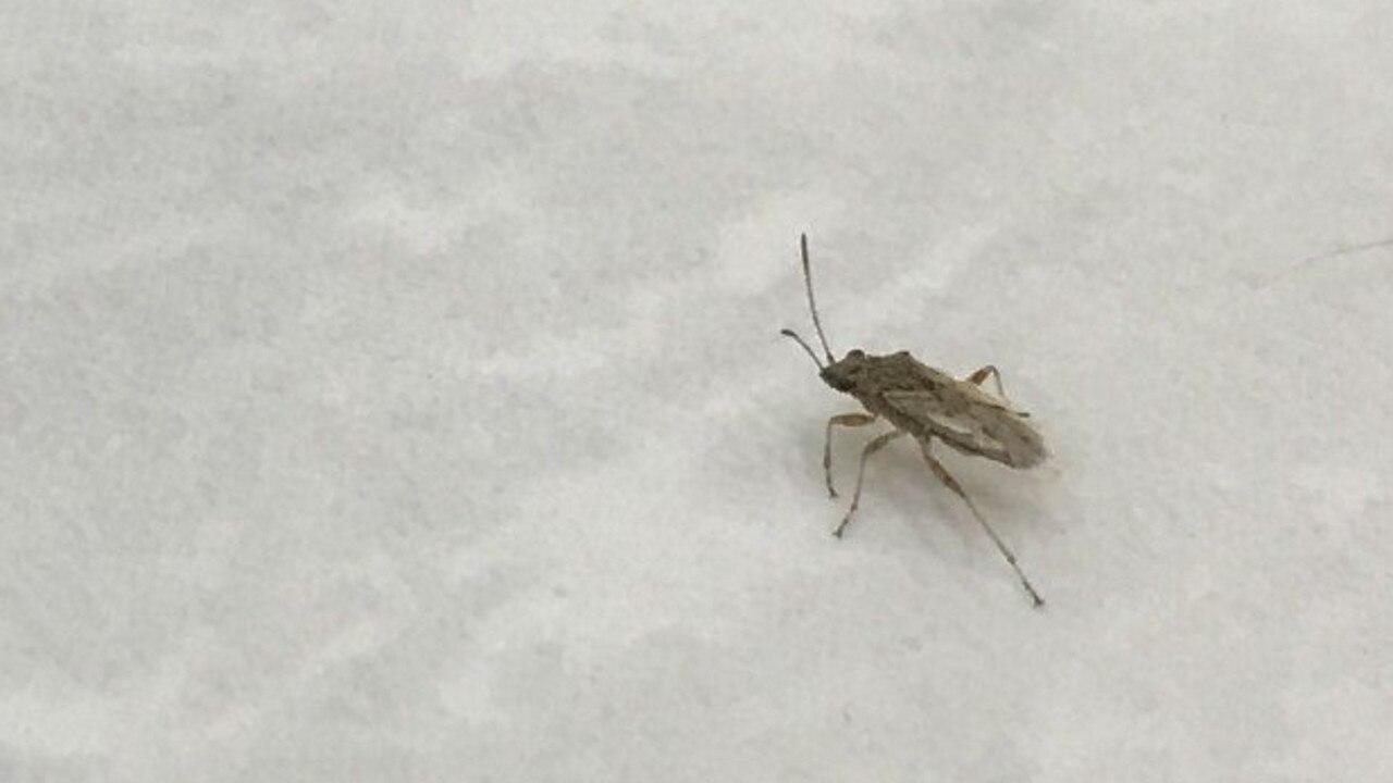 Tiny bugs were bugging people in Bundaberg.