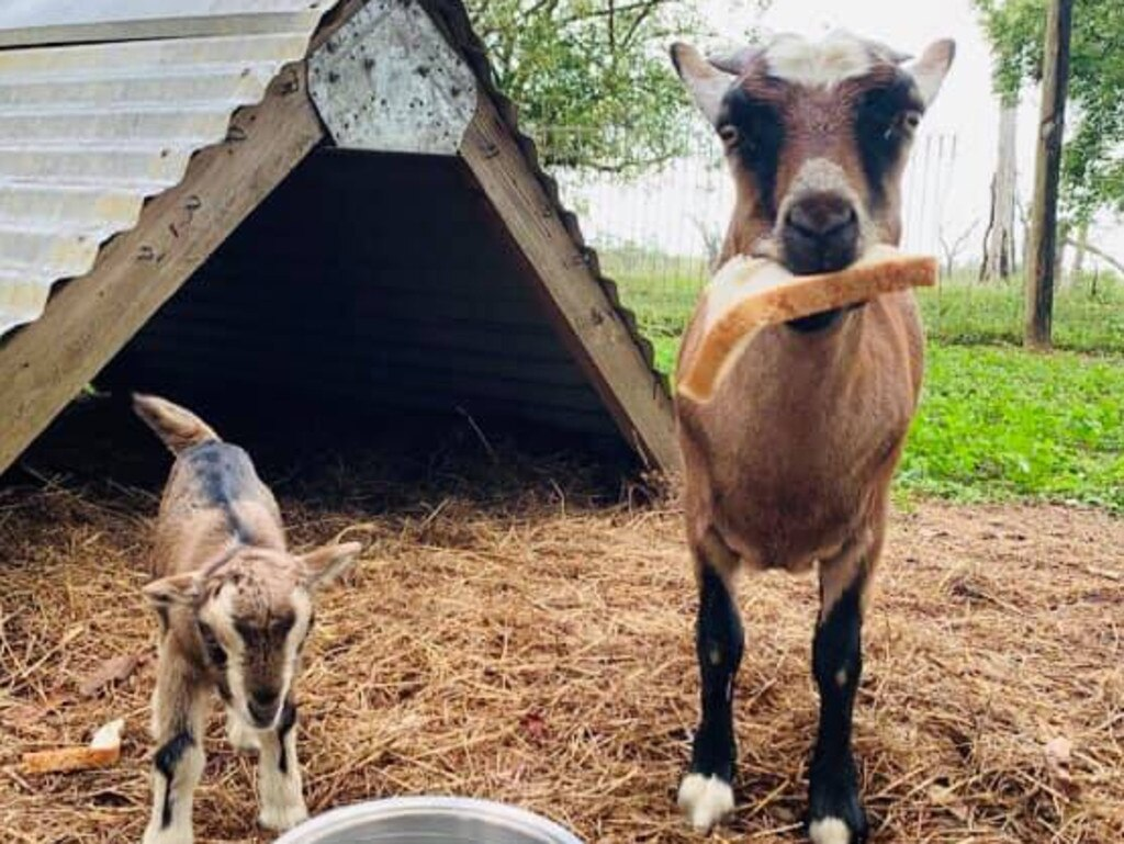A newly-born kid at the Bredl's Wild Farm, Bloomsbury. Picture: Contributed