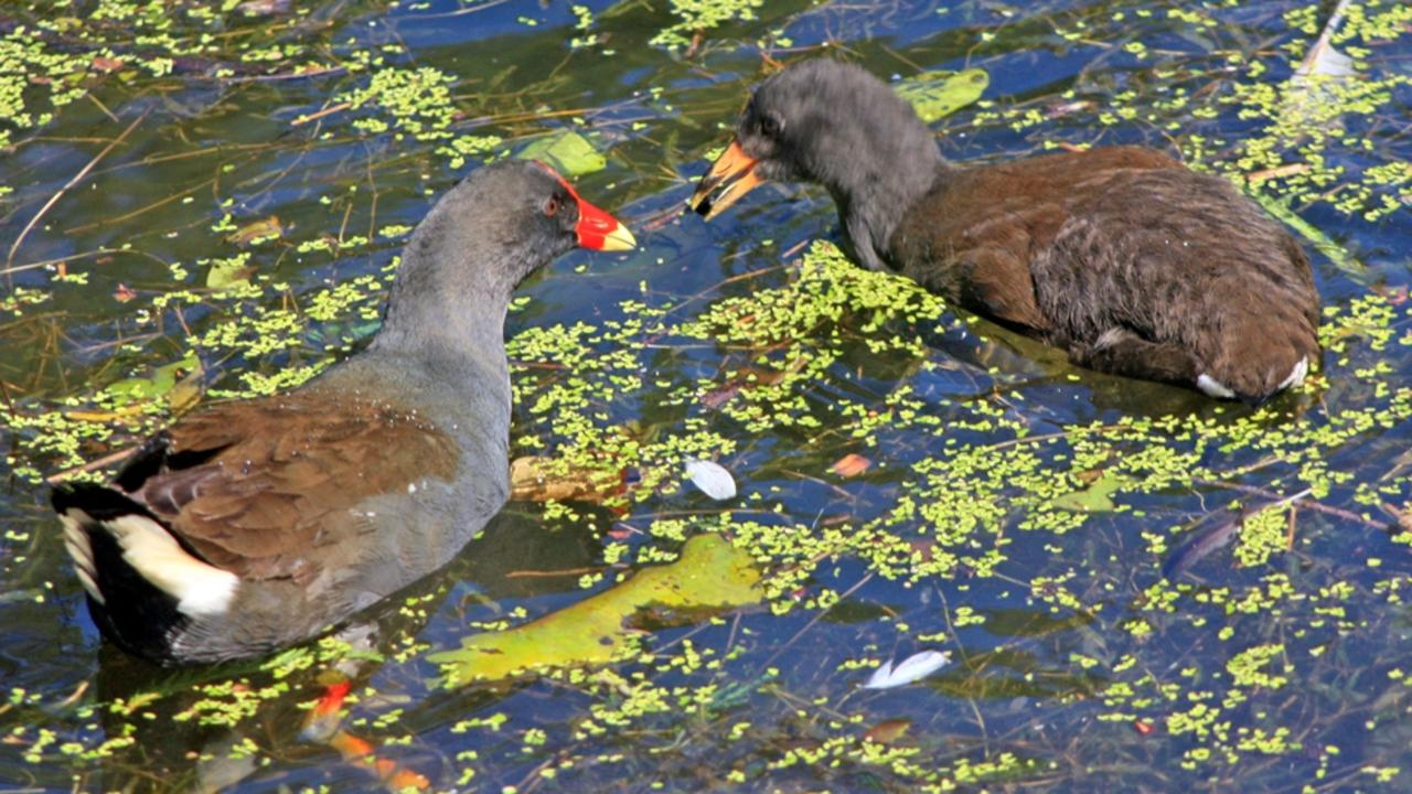 Dusty Moorhens can be seen in many locations around Bundaberg including the Botanic Gardens, Baldwin Swamp Enviro Park and Moore Park Wetlands Reserve. Photo: Contributed.