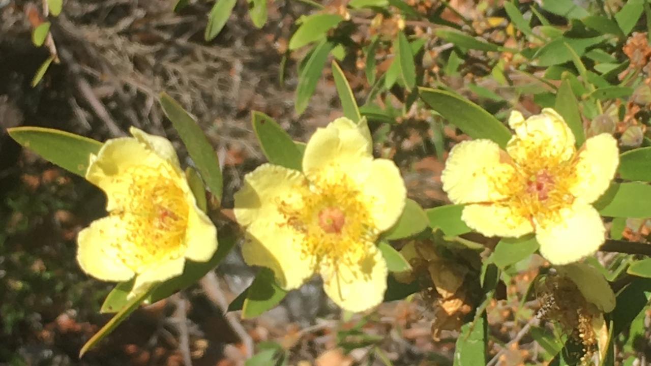 Neofrabicia myrtifolia 1