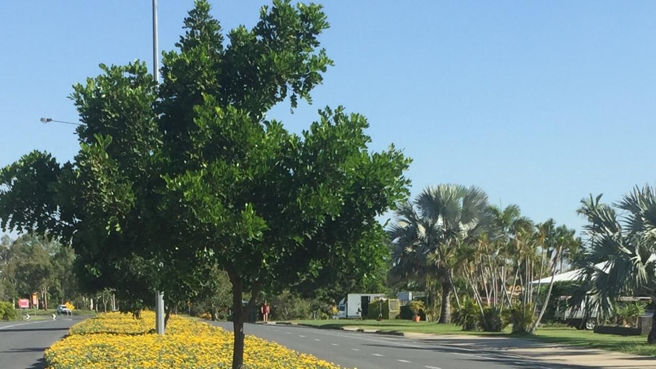 Gazania scandens Norman Road