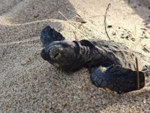 Plan to stop crushing of hatchlings on Mackay beaches