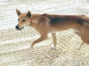 Men fined for encouraging dingo to 'smell, lick' hands