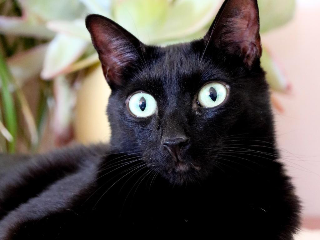 CQ Pet Rescue's pet of the week is Batman, 7, who is looking for his forever home.